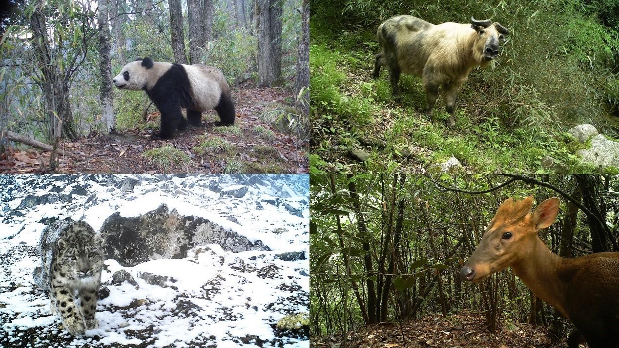本研究中红外相机拍摄的各保护区部分主要保护目标物种(左上:大熊猫-长青保护区;左下:雪豹-卧龙保护区;右上:羚牛-老河沟保护区;右下:黑麂-古田山保护区)