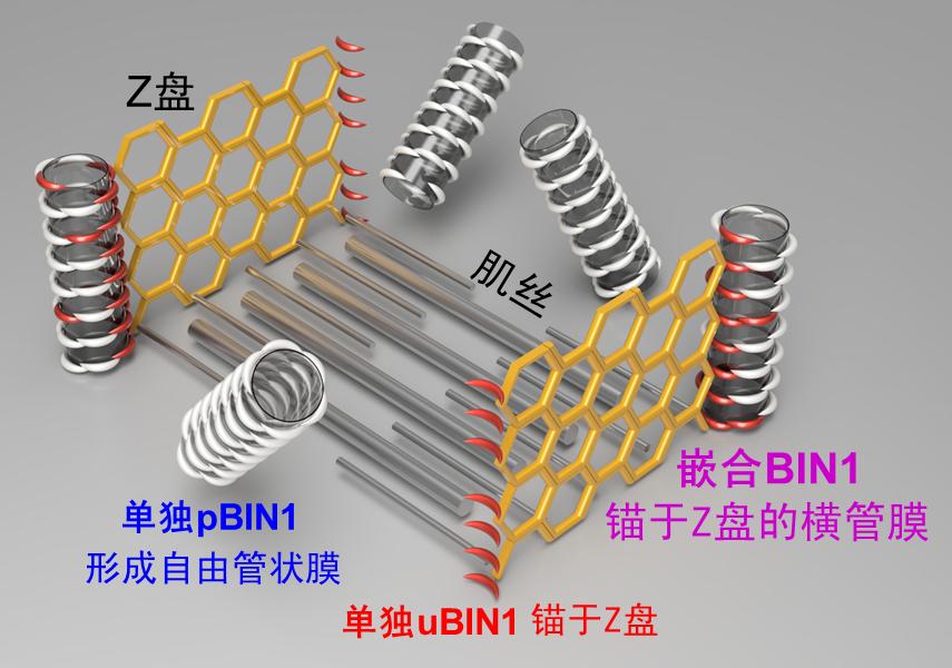 北大研究人员发现心肌细胞横管膜形态发生的重要原理---横管形态发生和定位的嵌合BIN1模型(吴昊迪博士绘制)