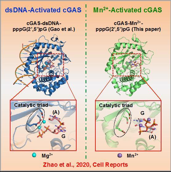 北大研究团队揭示锰离子激活天然免疫关键模式识别受体cGAS的新催化机制--双链DNA激活的cGAS(左)与锰离子激活的cGAS(右)的晶体结构