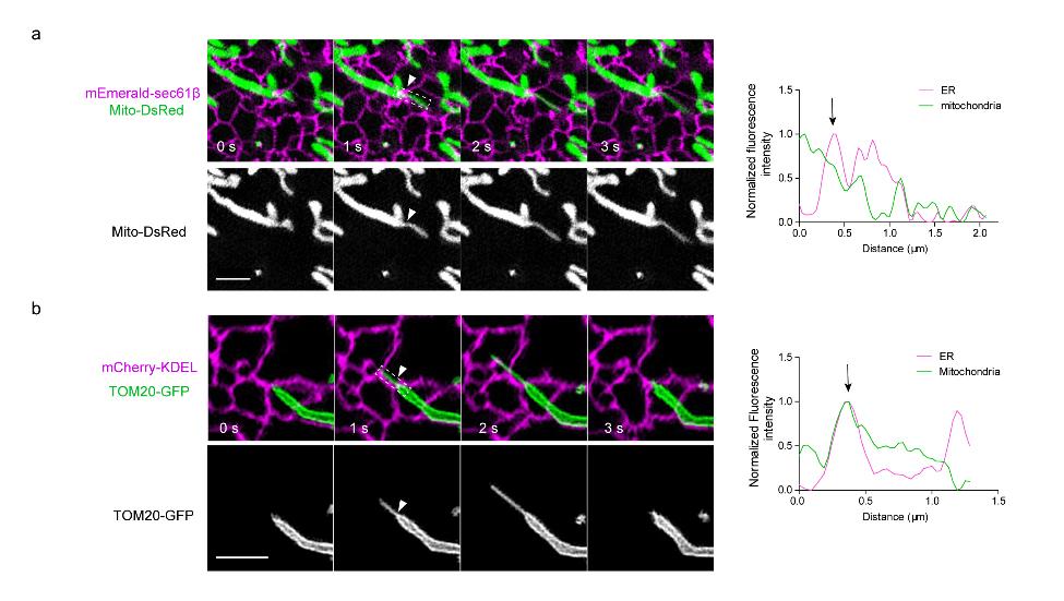 图2.线粒体动态管化起始于内质网与线粒体互作区域